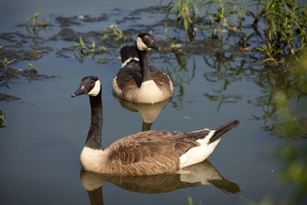 Canadian Geese (Princeton NJ)